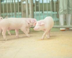 豚生レバーの危険性